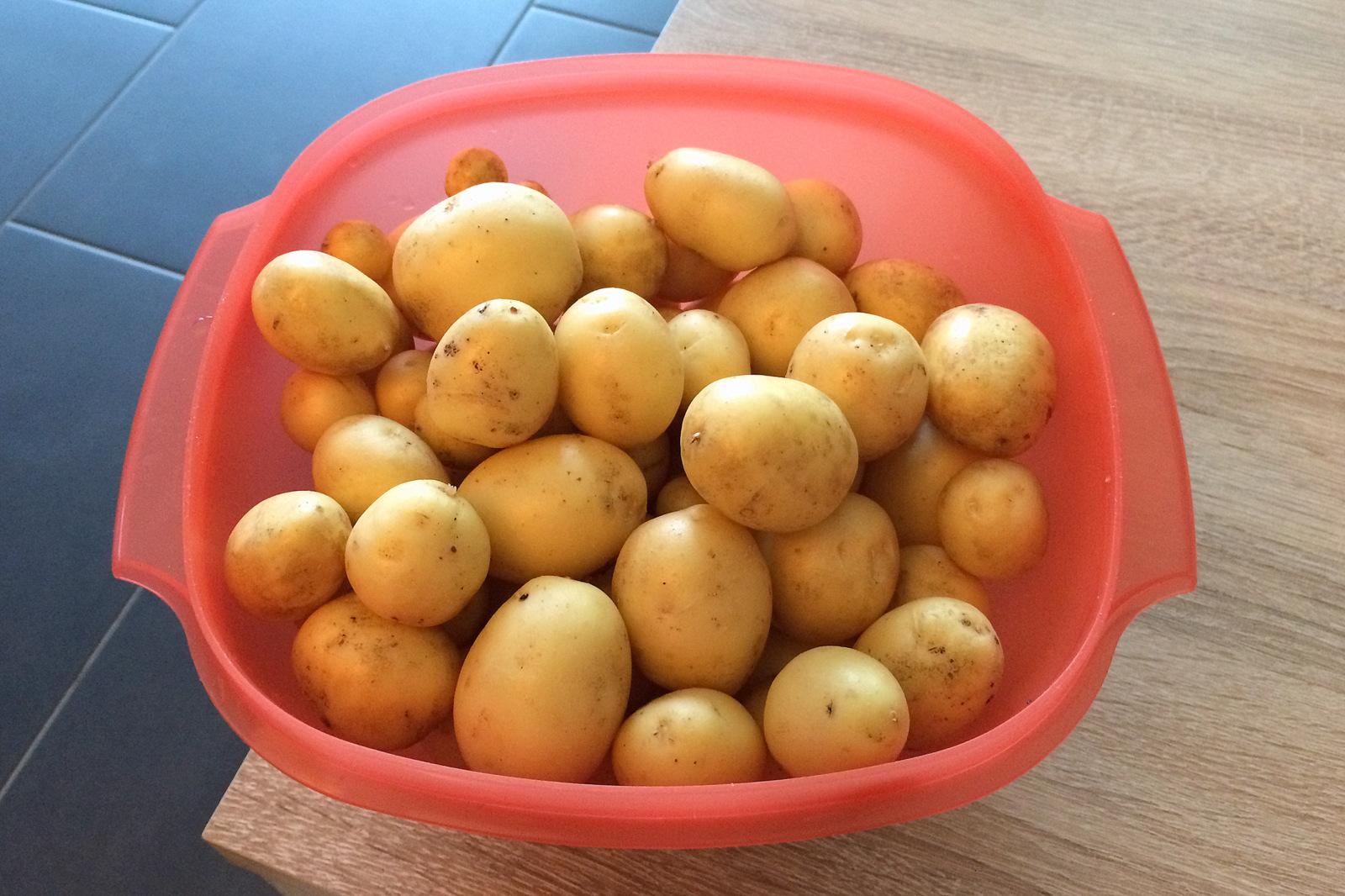 Kleiner Teil unserer Kartoffel-Ernte: Wir freuen uns schon auf leckere Bratkartoffeln und andere Rezepte.