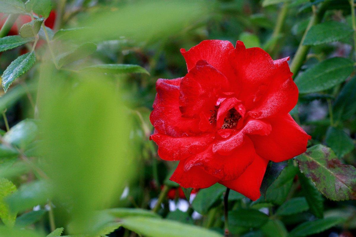 Die Rosen im Vorgarten stehen noch mal in voller Pracht. Hach!