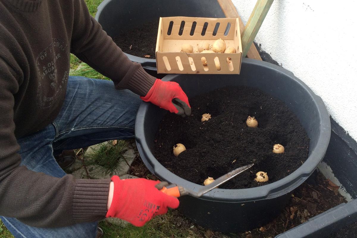 kartoffeln_pflanzen