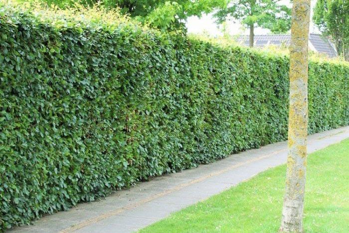 Rotbuchhecke: Wie Heckenelemente schnell einen grünen Garten zaubern.